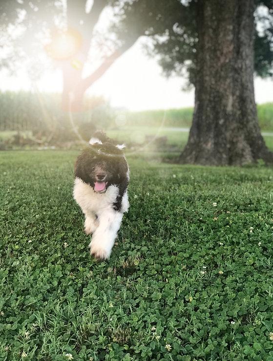 Parti & Phantom Poodle Puppy