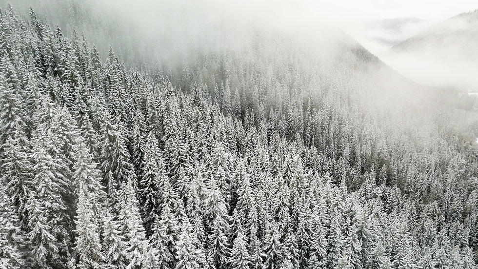 snow covered trees on a mountain. moody fog