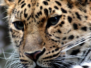 How can a leopard possibly change its spots?