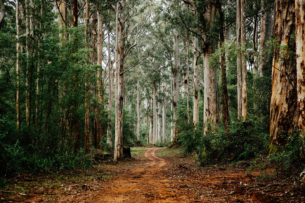 Karri-trees-of-the-Southern-Forests-wine-region-best-Western-australian-wines.jpg