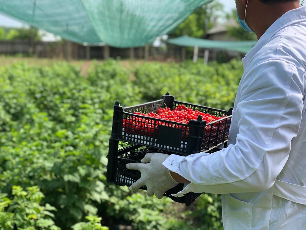 protectia muncii in recoltare coacaze rosii si negre