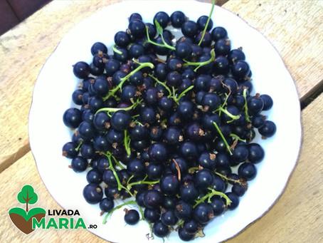 Beneficiile consumului de coacaze și al preparatelor ce au în compoziție frunze/muguri de coacăz