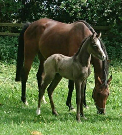 Colt out of Strinesdale Devine
