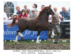 Donys Importance 1st place 2010 Royal Welsh Section C, 2 year old Colt
