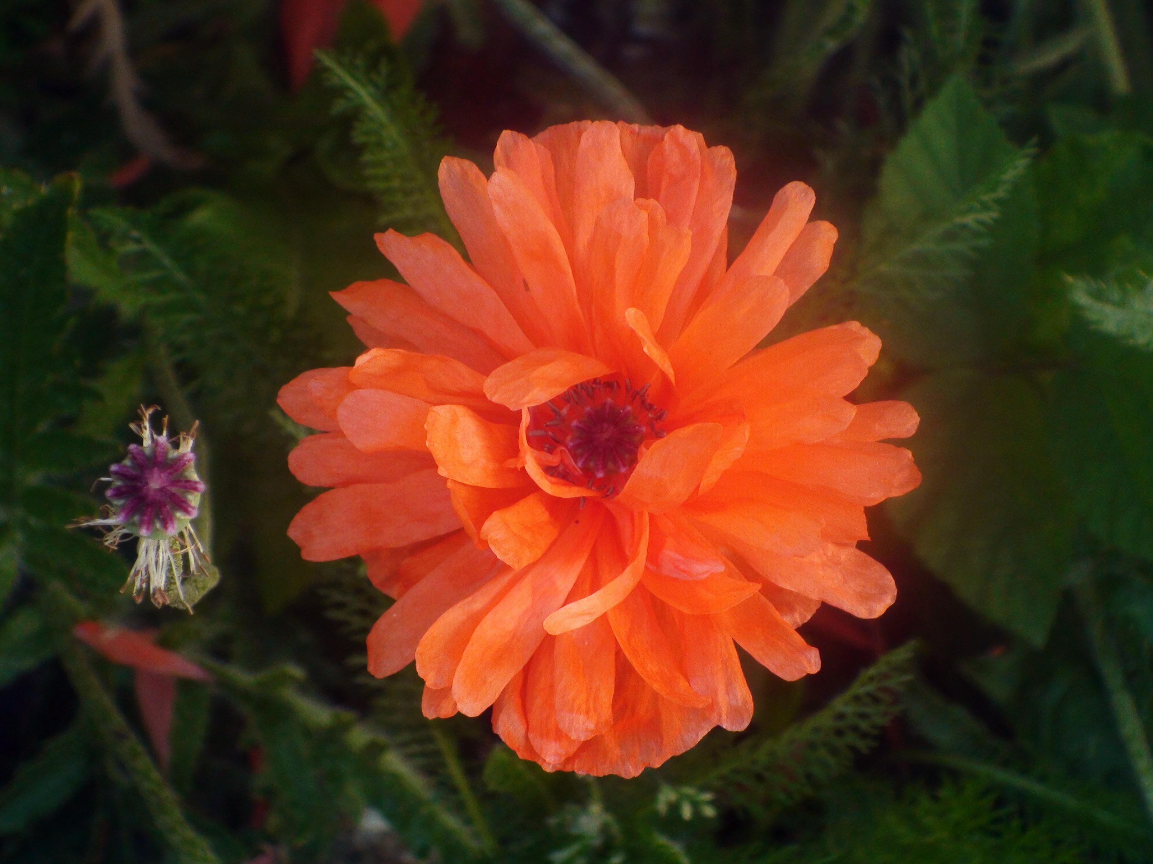 valmue blomst