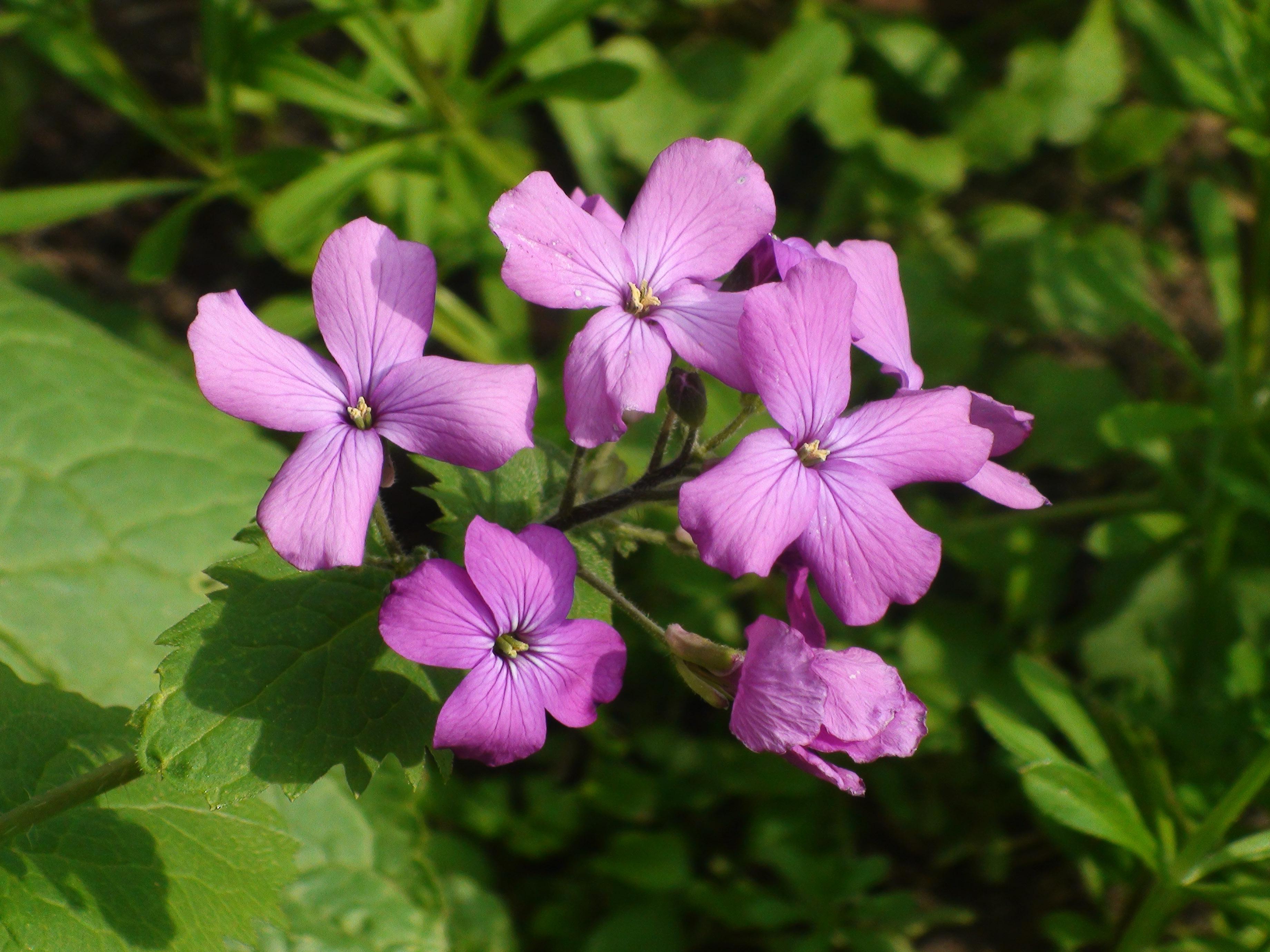 fleur sauvage4