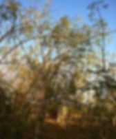 Moringa trees with seed pods