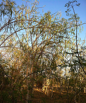 Moringa trees with seed pods