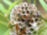アシナガバチ01