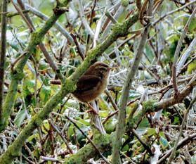 Greg DSC00666 small bird in brambles.jpg