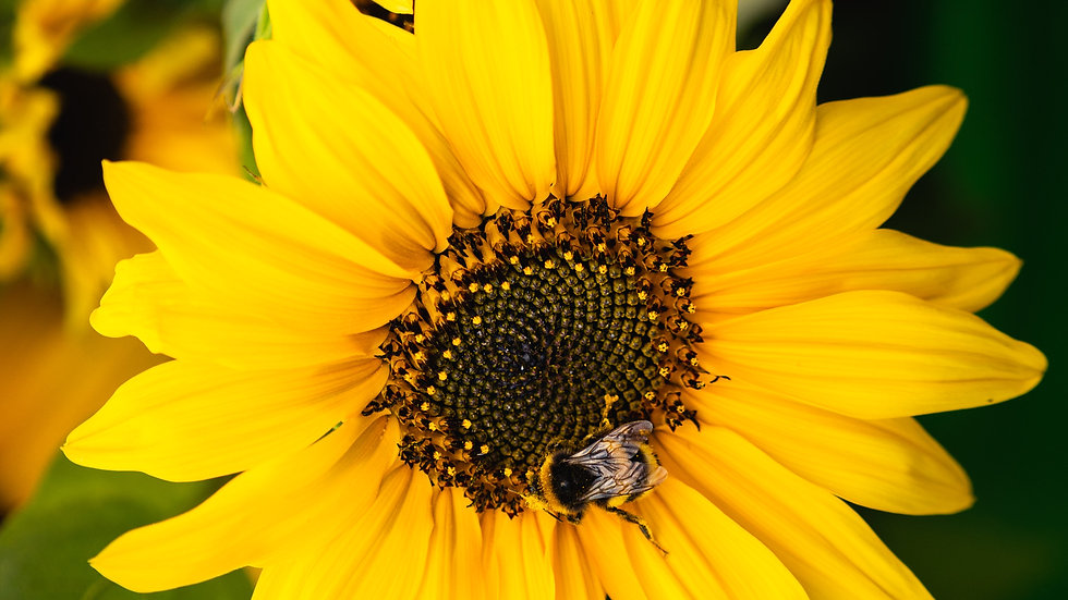 "BlumenZauber Saatgut ""Sonnenblume"""