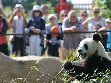 Panda at a zoo with crowds looking on