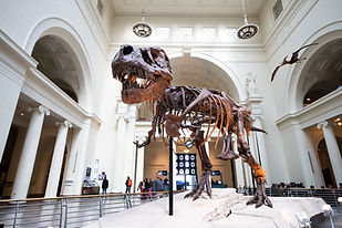 Skeleton of a dinasaur in a museum