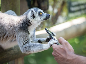 lemur with a mobile phone at a zoo