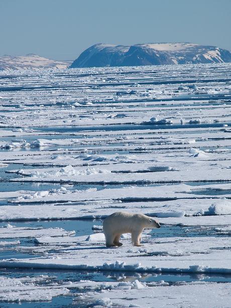 Polar Bear Spitsbergen.jpg