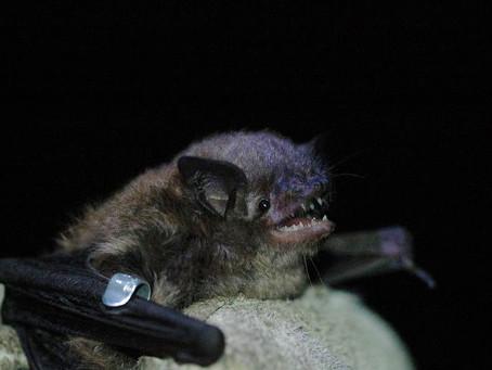 bats Bats BATS!
