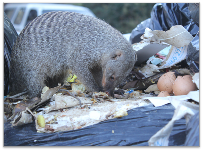 mongoose in trash.png