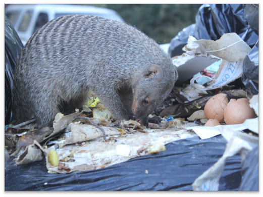 mongoose in trash.png