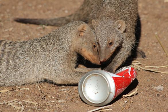 mongoose and coke can.JPG