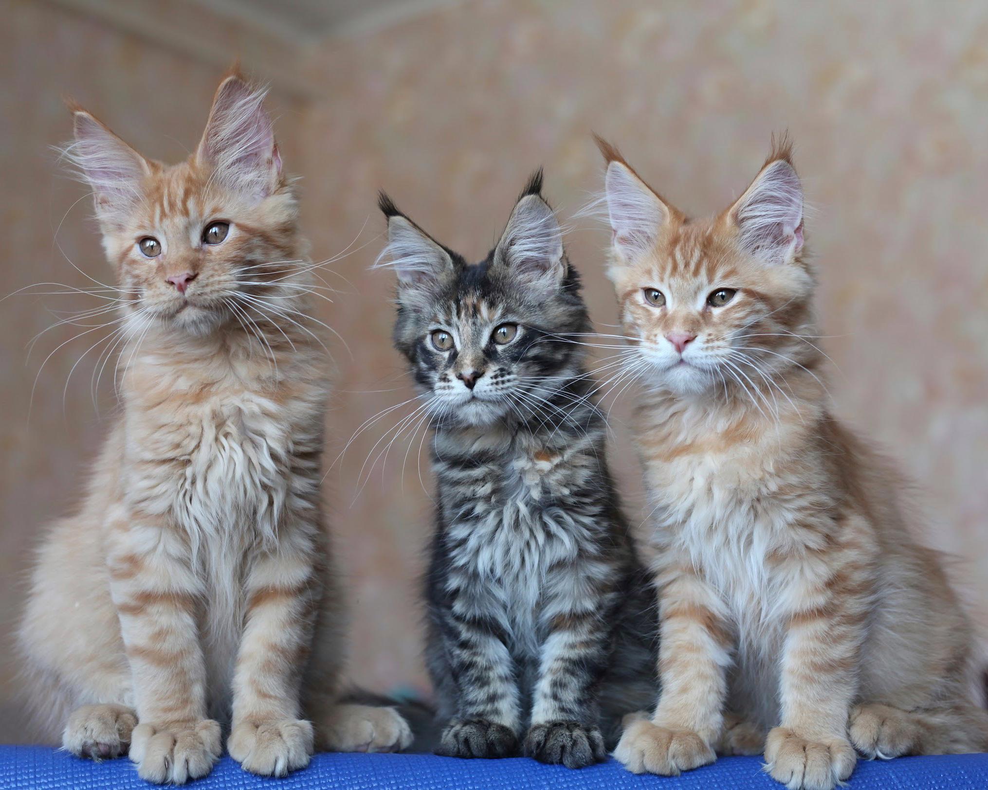бомбические котята