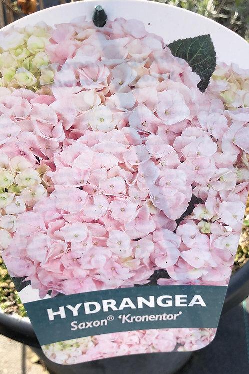 Hydrangea Saxon 'Kronentor'