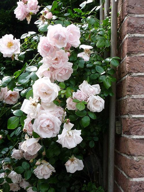 Rosa 'New Dawn' - klimroos