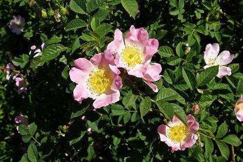 Rosa canina - rozenbottel
