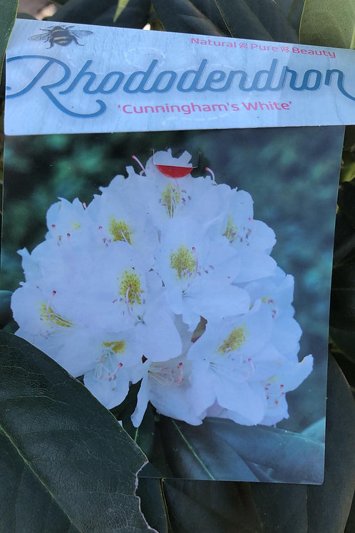 Rhodondendron 'Cunningham's White'