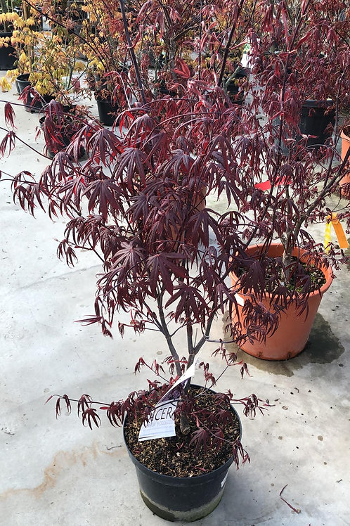 Acer palm. 'Dissectum Garnet' H100