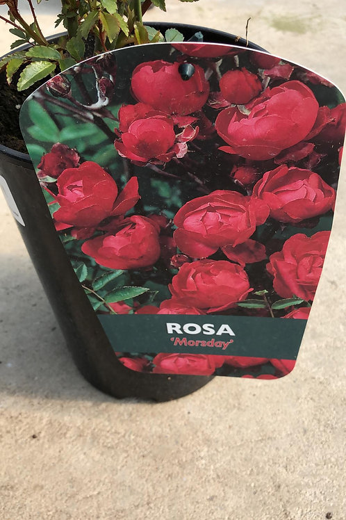 Rosa 'Morsday'