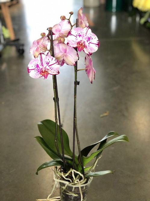 Orchidee gevlekt wit-paars