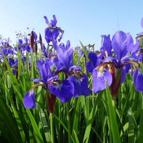 Iris Siberica 1.5L