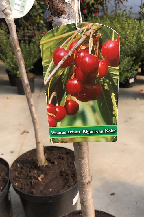 Kers Prunus Avium 'Bigarreau Noir' - laagstam