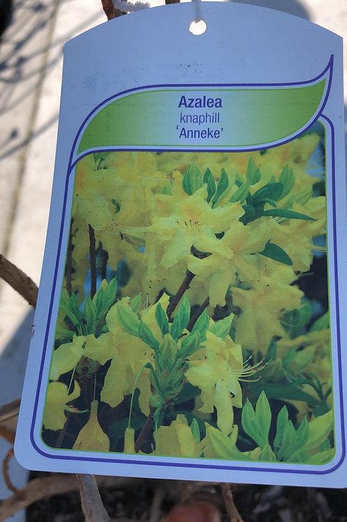 Azalea knaphill 'Anneke'