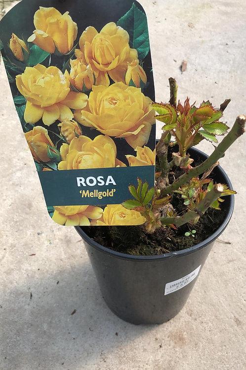 Rosa 'Mellgold'