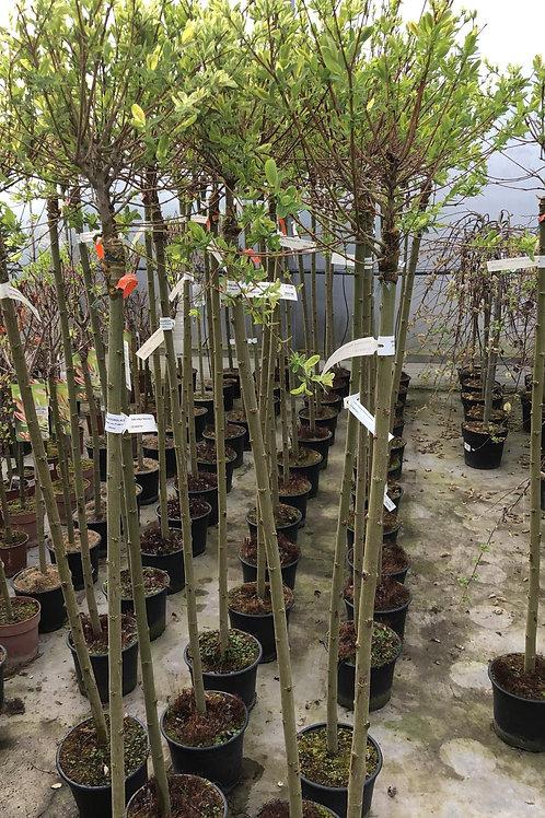 Salix integra 'Hakuro Nishiki' H110+