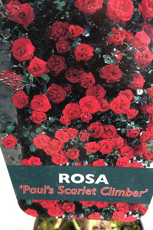 Rosa 'Paul's Scarlet Climber' - klimroos