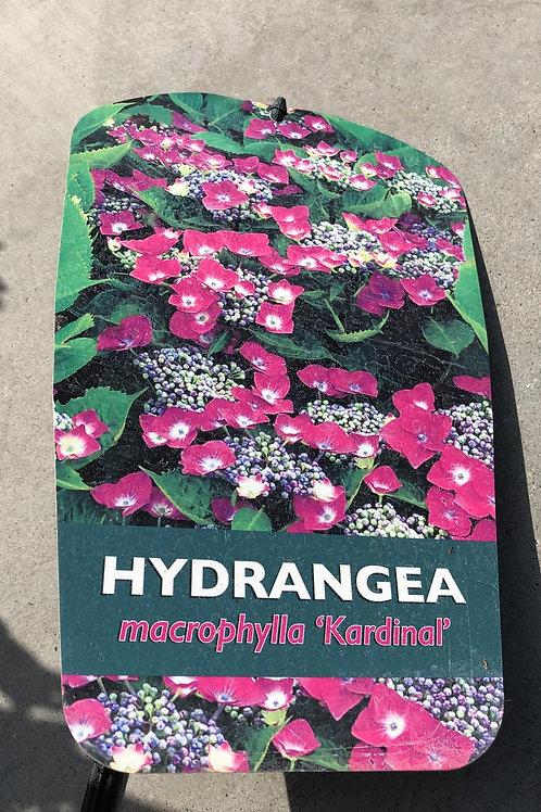 Hydrangea macr. 'Kardinal'