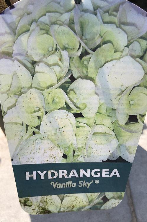 Hydrangea 'Vanilla Sky'