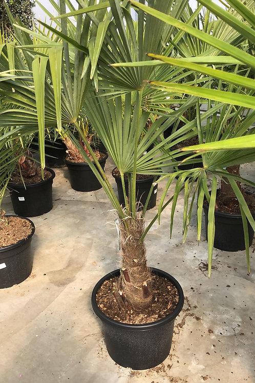 Trachycarpus - 1.50