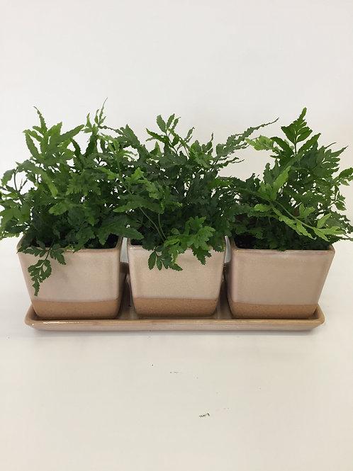 Set schotel zalmkleurig met 3 potjes + 3 plantjes varens