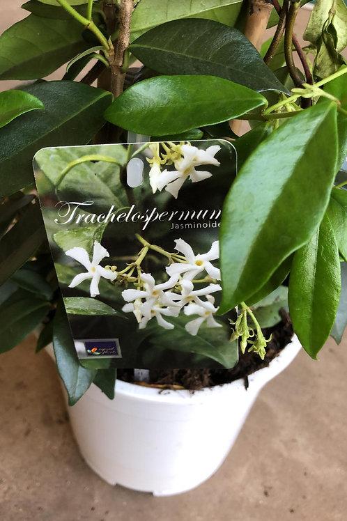 Trachelospermum jasminoides - Toscaanse jasmijn H60