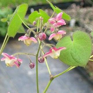 Epimedium Rubrum (Elfenbloem)