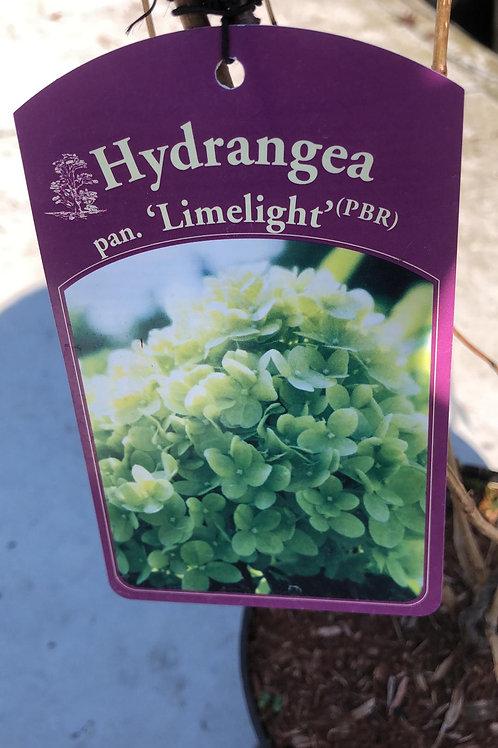 Hydrangea pan. 'Limelight' - 3L