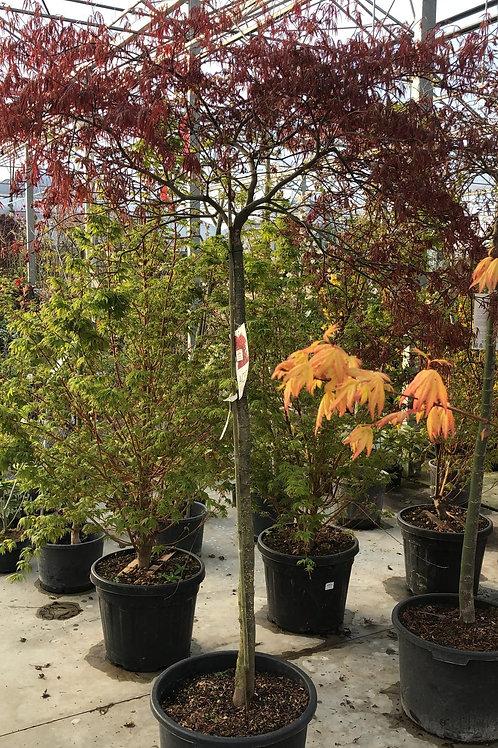 Acer palm. 'Dissectum Garnet' H190