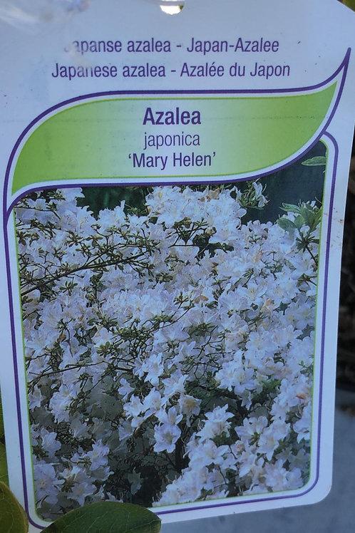 Azalea Japonica 'Mary Helen'