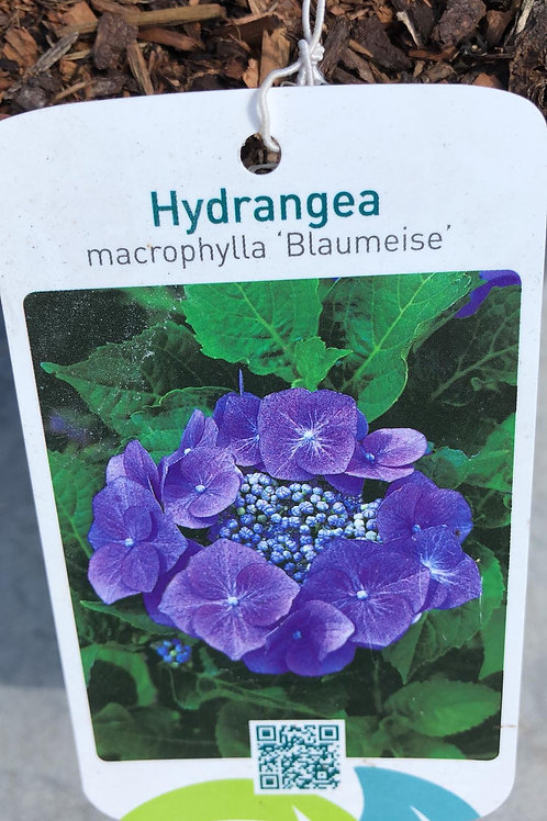 Hydrangea macr. 'Blaumeise'