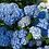 Thumbnail: Hydrangea macr. 'Nikko Blue'
