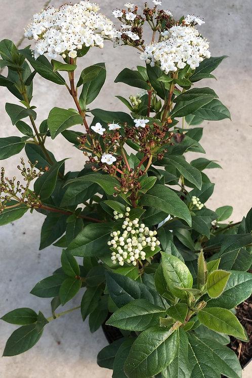 Viburnum tinus wit