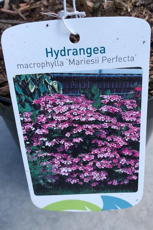 Hydrangea macr. 'Mariesii Perfecta'